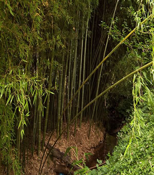Moso Bamboo Forest